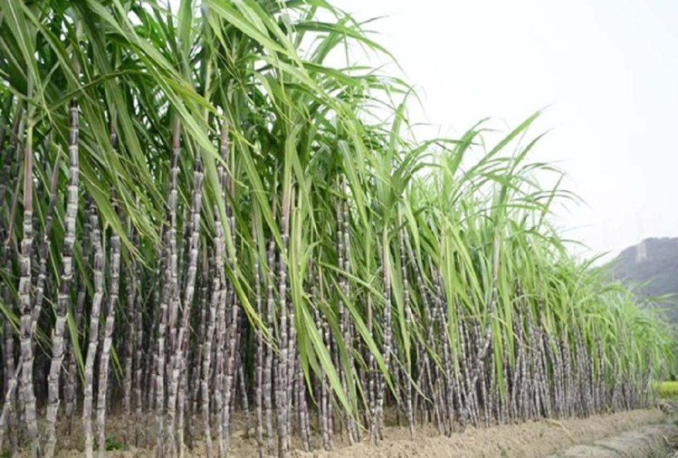 Haryana government gives big relief to sugarcane farmers