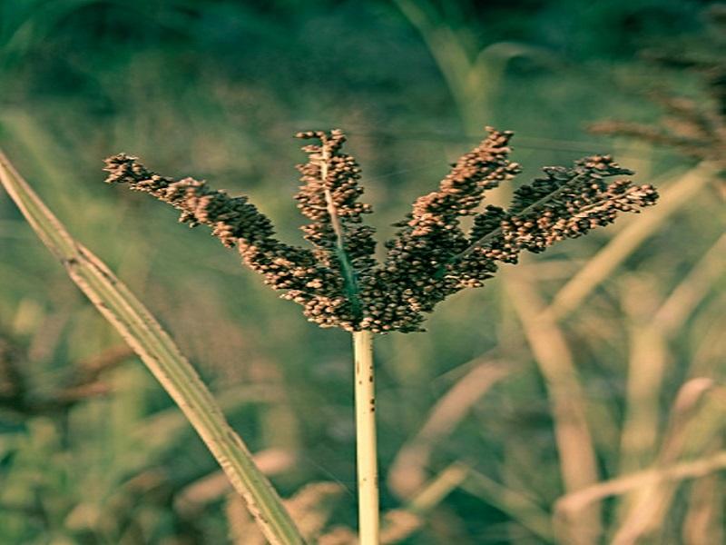 millet_cultivation