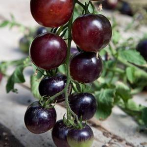 tomato indigo